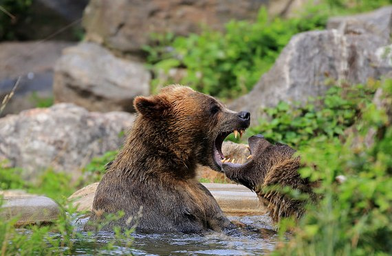Grizzly Bears, Bronx Zoo, New York