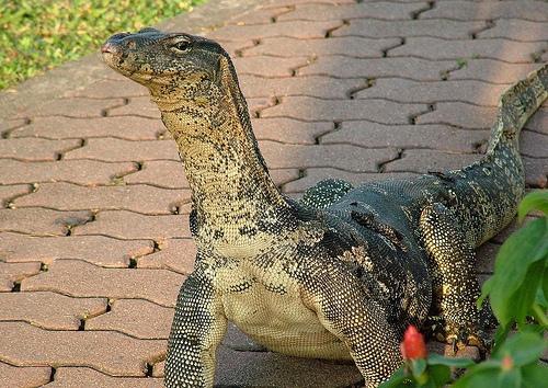 Bangkok, a Monitor Lizard in Lumphini Park