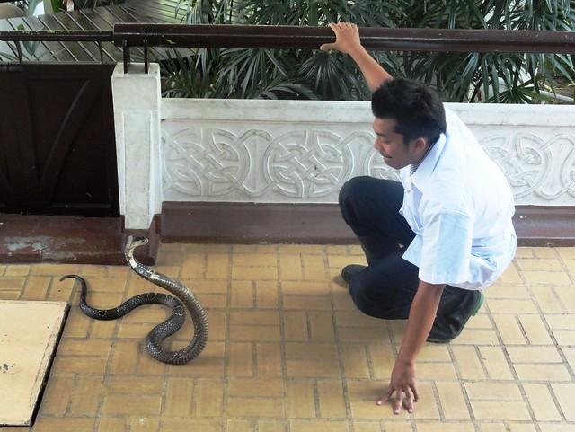 Snake Handling, Queen Saovabha Institute, Bangkok, Thailand
