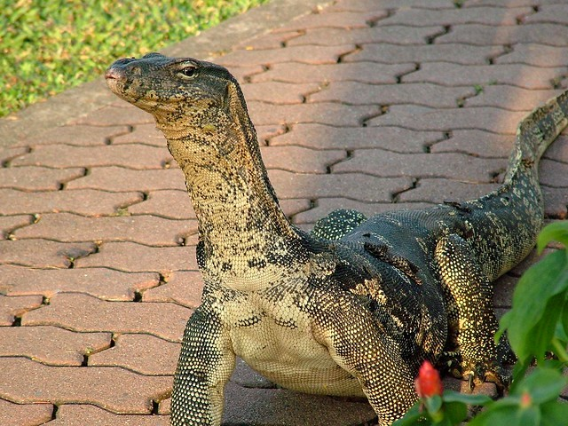 A Two Meters Monitor Lizard at Lumphini Park, Bangkok, Thailand