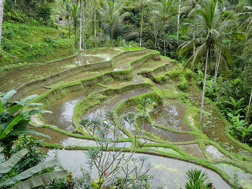 Rice Fields near Ubud Bali Indonesia
