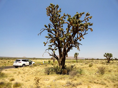 Joshua Tree at the intersection of Cima Road and Morning Star Mine Road, Mojave Preserve, California