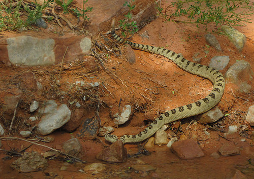 Great Basin Rattlesnake, Zion National Park, Utah