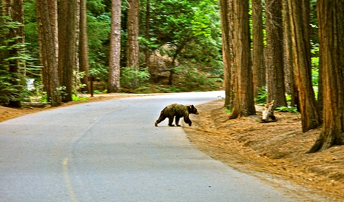 Black Bear at the beginning of Mirror Lake Trail, Yosemite Valley, Yosemite National Park, California