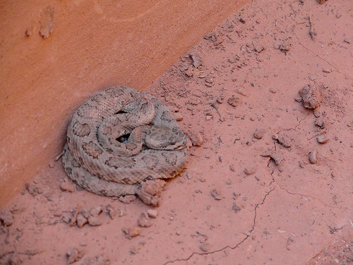 Pigmy Rattlesnake in the Dry Fork of Coyote Gulch, Grand Staircase-Escalante National Monument, Utah