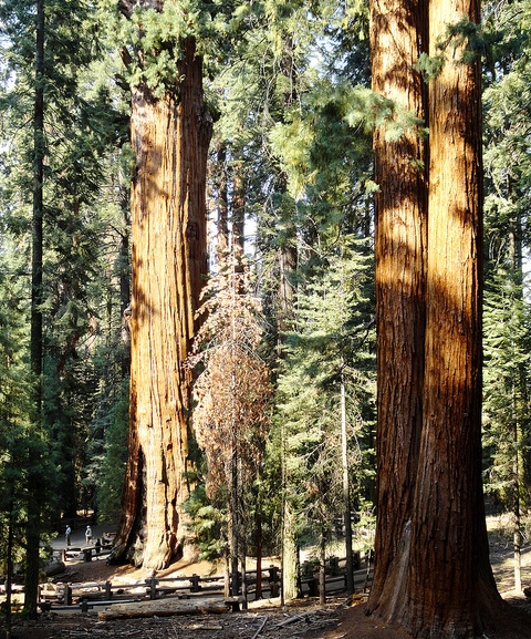 General Sherman Tree Trail, Giant Forest, Sequoia National Park, California