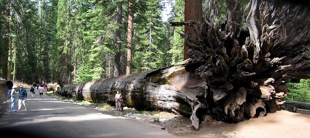 Fallen Sequoia, Sequoia National Park, California