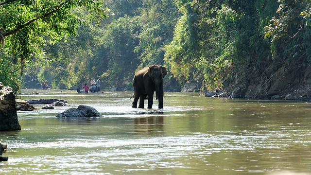 Elephants into the River, near Chiang Mai, Thailand
