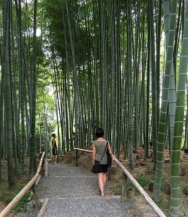 Bamboo Grove, Kodaiji Temple, Central Higashiyama, Kyoto, Japan