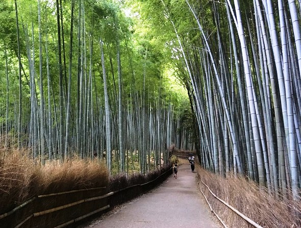 Exploring the Bamboo Grove, Arashiyama Forest, Arashiyama, West Kyoto, Japan