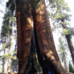 Big sequoia damaged by fire Congress Trail Sequoia NP California USA