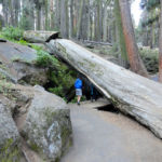 Fallen sequoia Congress Trail Sequoia NP California USA