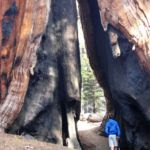 Walking through a big sequoia damaged by fire Congress Trail Sequoia NP California USA